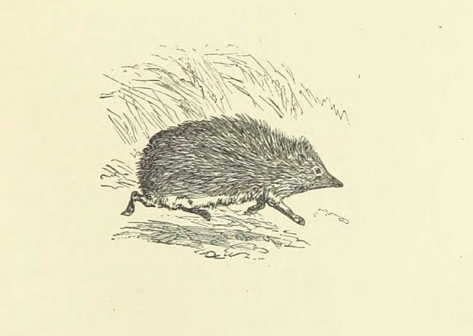 hedgehog from Eileen Aroon p 127